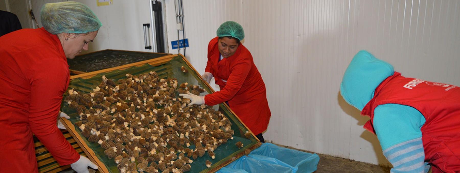 Kosovo Mushrooms Exported Worldwide