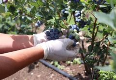 Global GAP Certification for Kosovo Blueberry Cultivators